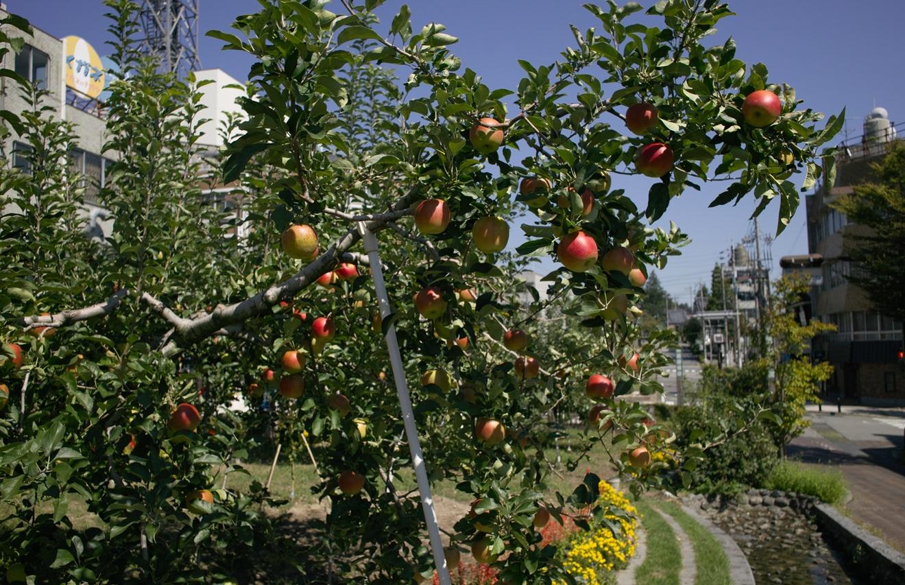 飯田市りんご並木