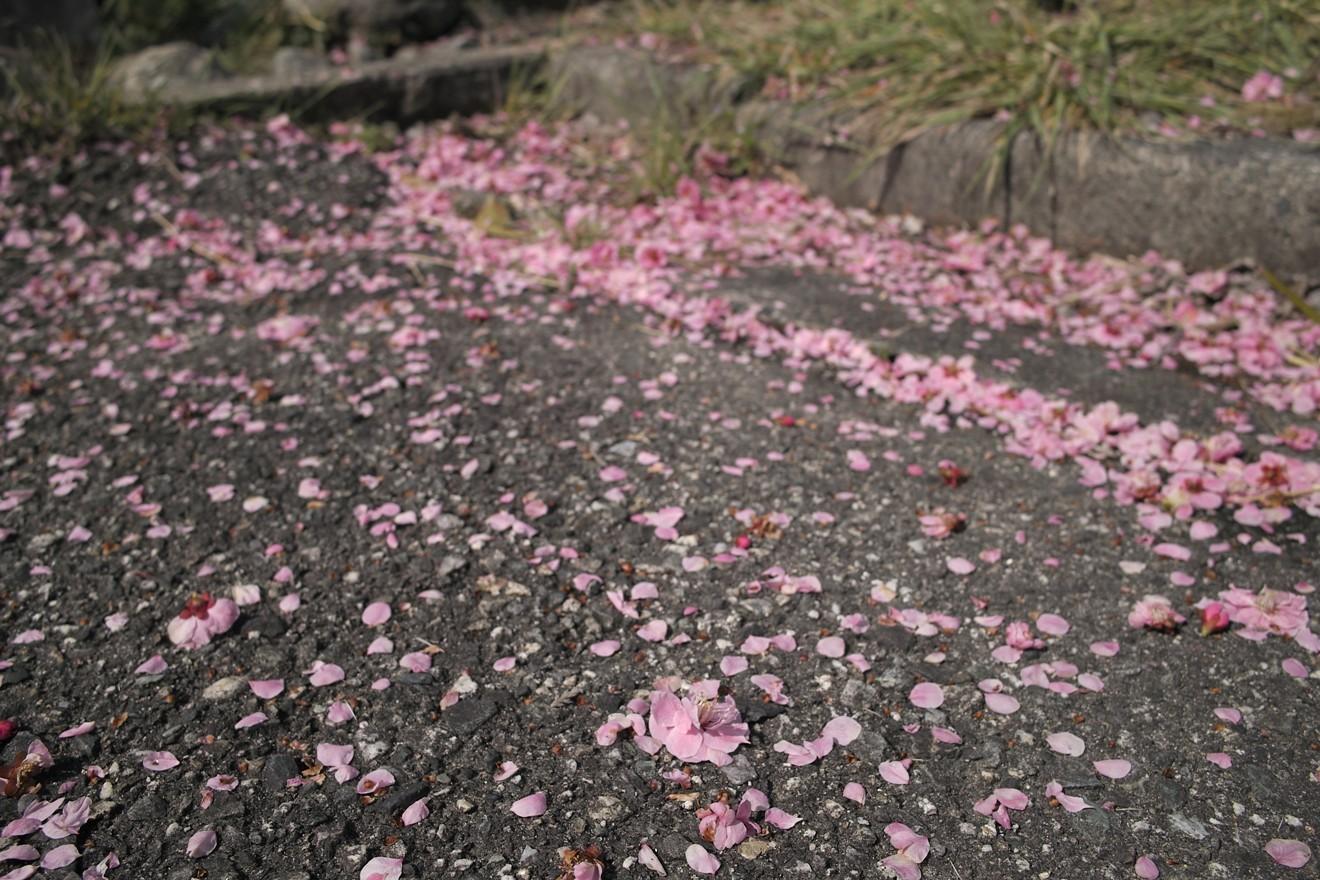 「堀氏拝領の紅梅」の花弁