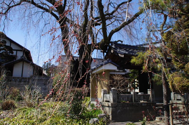 2012年4月8日の飯田市江戸町黄梅院のシダレザクラ
