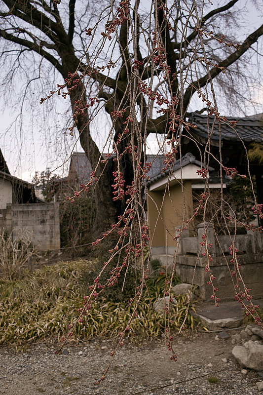 2012年4月9日の飯田市江戸町「黄梅院」シダレザクラ