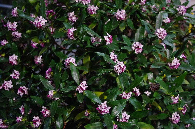 2012年4月10日夜の民宿若松玄関先の沈丁花