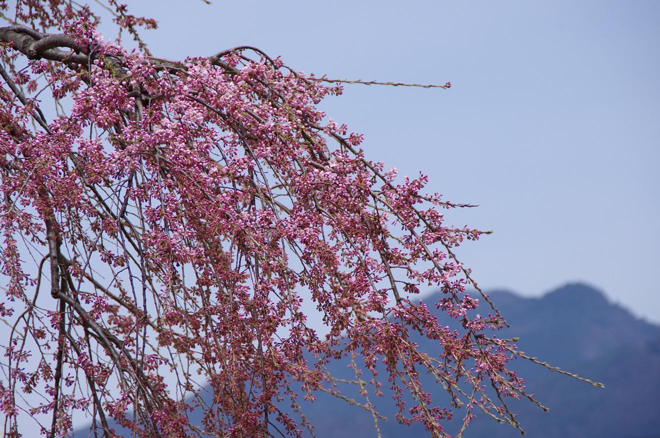 飯田市伝馬町「専照寺の枝垂れ桜」