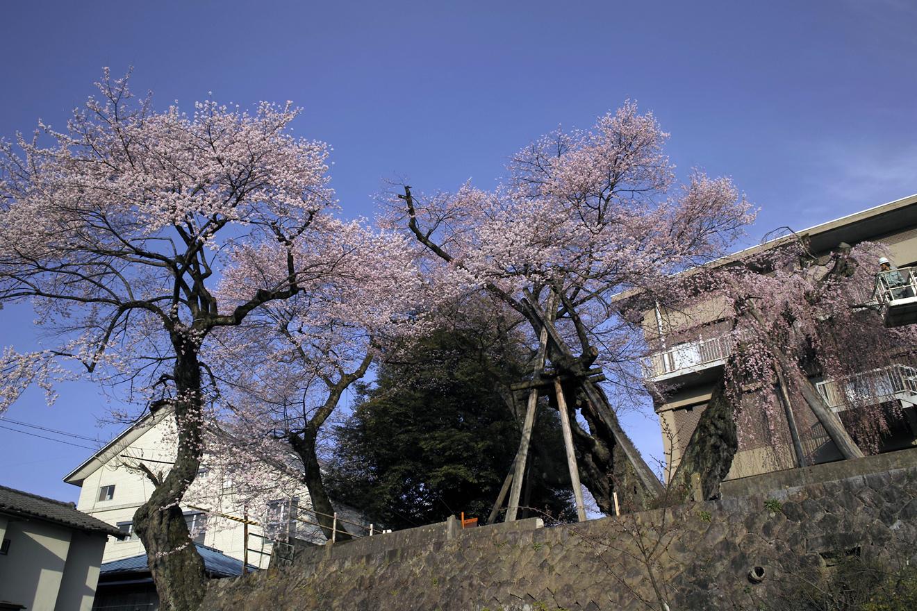 飯田市追手町「桜丸御殿の彼岸桜と夫婦桜」