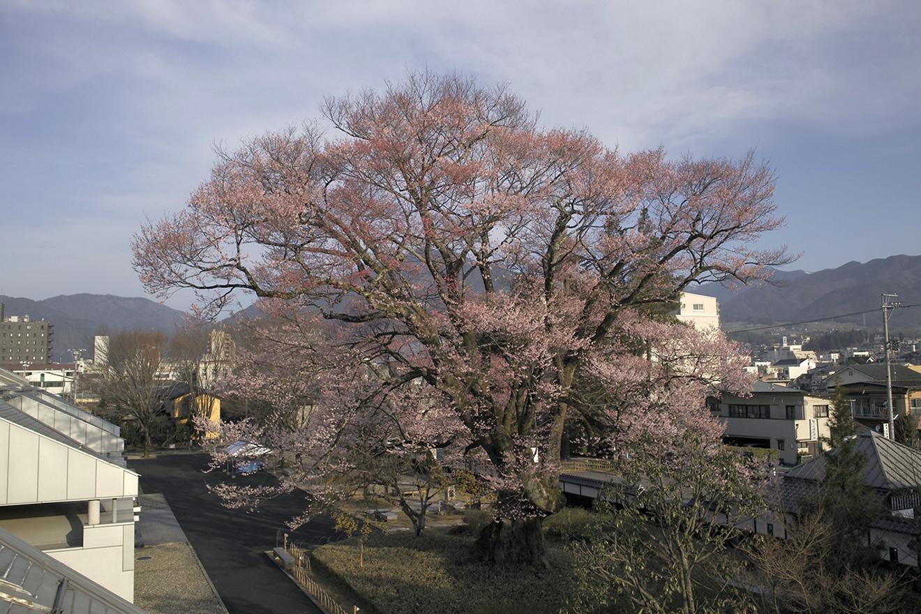 飯田市追手町「安富桜」(長姫のエドヒガン)