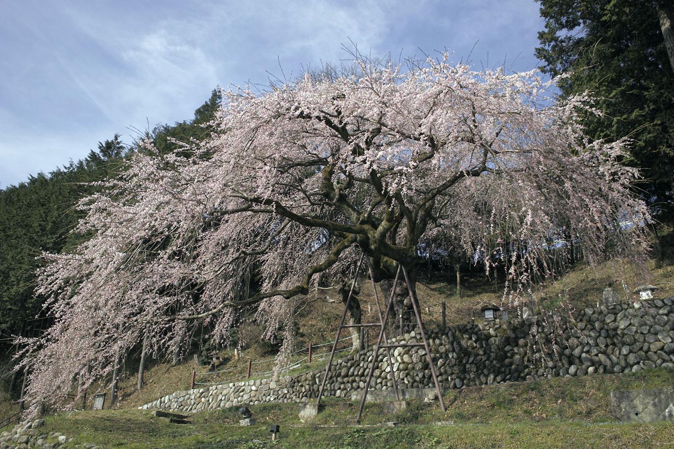 飯田市毛賀「くよとのシダレザクラ」