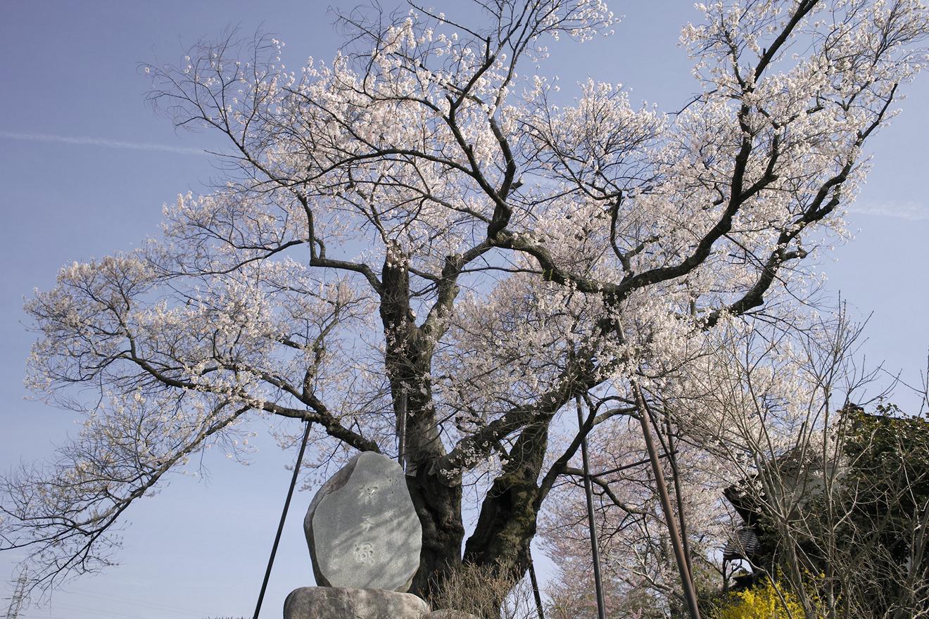 飯田市松尾水城「お立符のサクラ」(水佐代獅子塚古墳のエドヒガン)