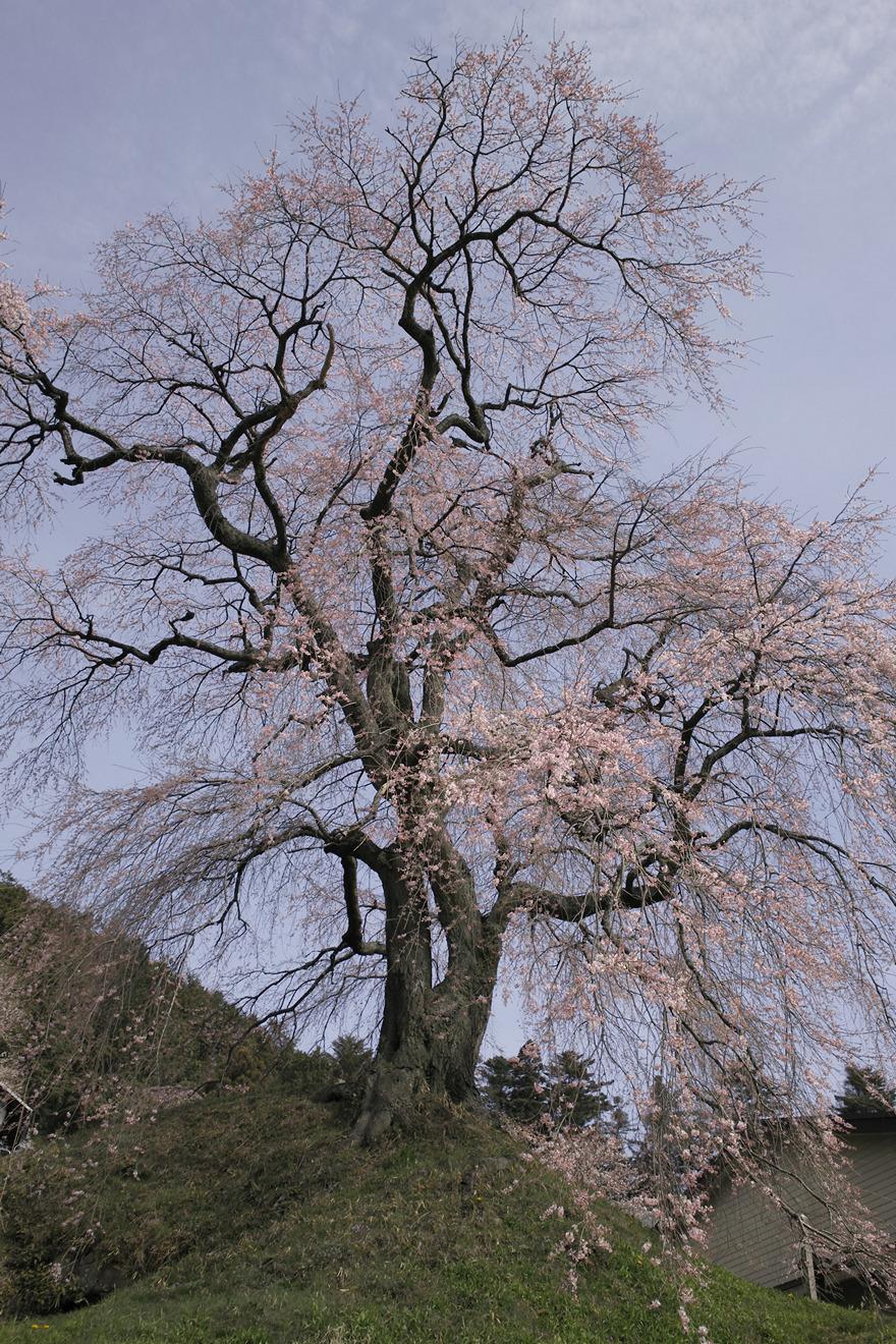 飯田市座光寺「石塚桜」