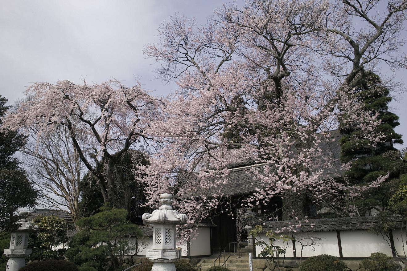 飯田市上郷別府「経蔵寺のエドヒガンとシダレザクラ」