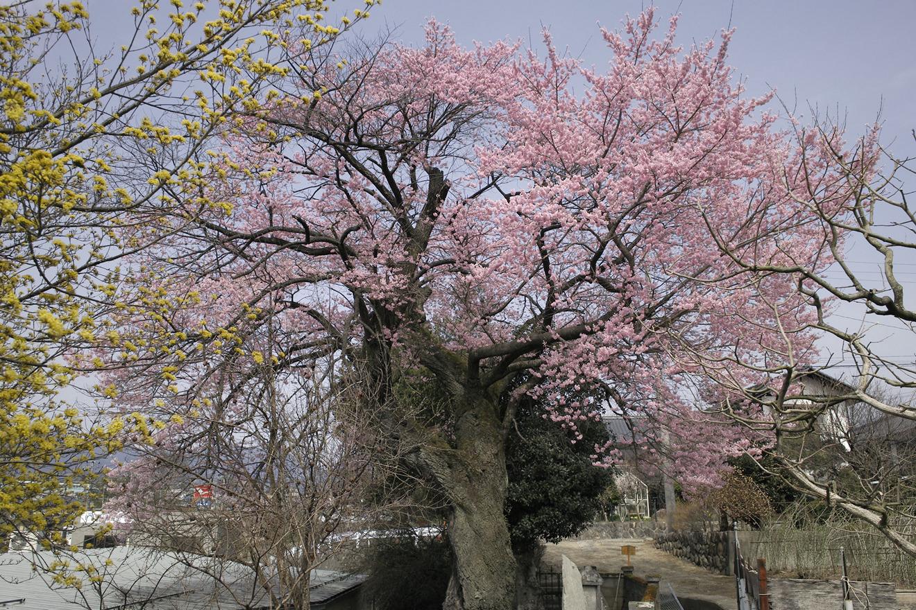 飯田市上郷別府「中安の桜」(エドヒガン)