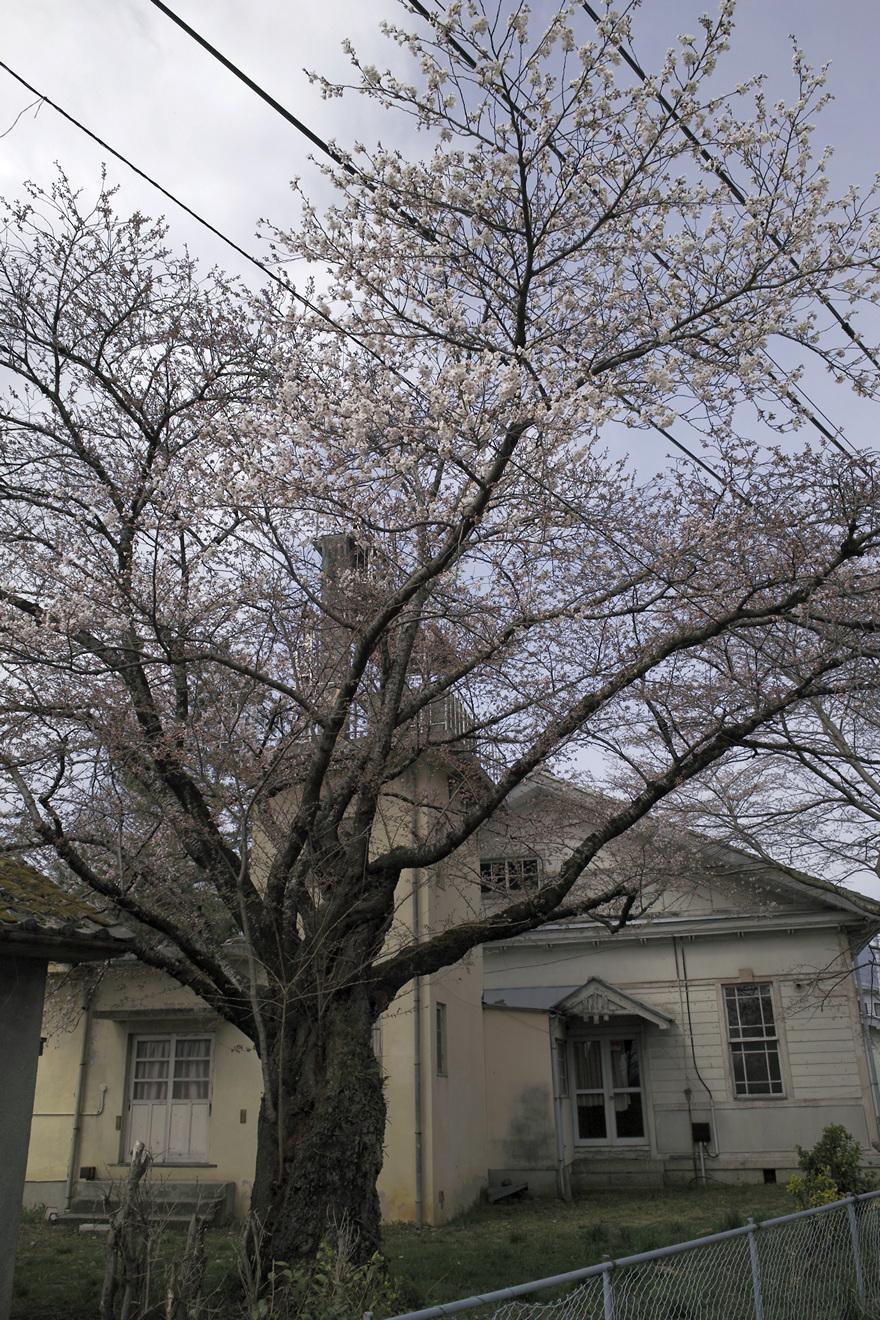 飯田市馬場町旧測候所のソメイヨシノ