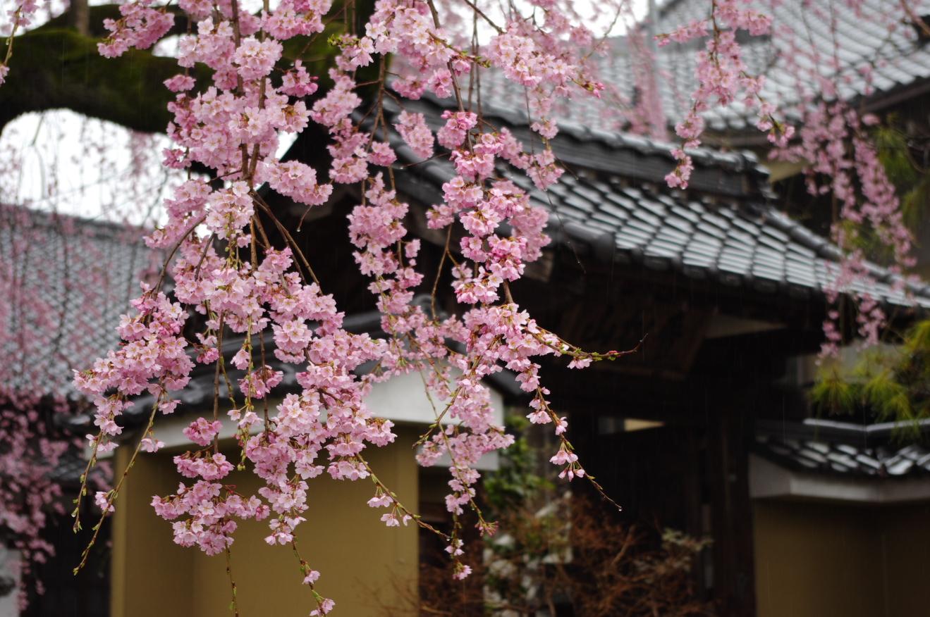 2012年4月14日飯田市江戸町「黄梅院の紅しだれ桜」