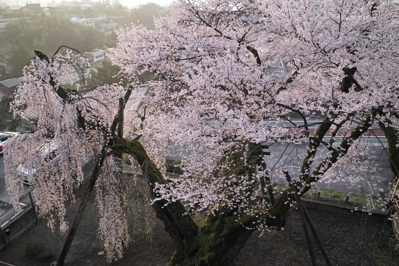 飯田市追手町「飯田城址桜丸御殿の夫婦桜」