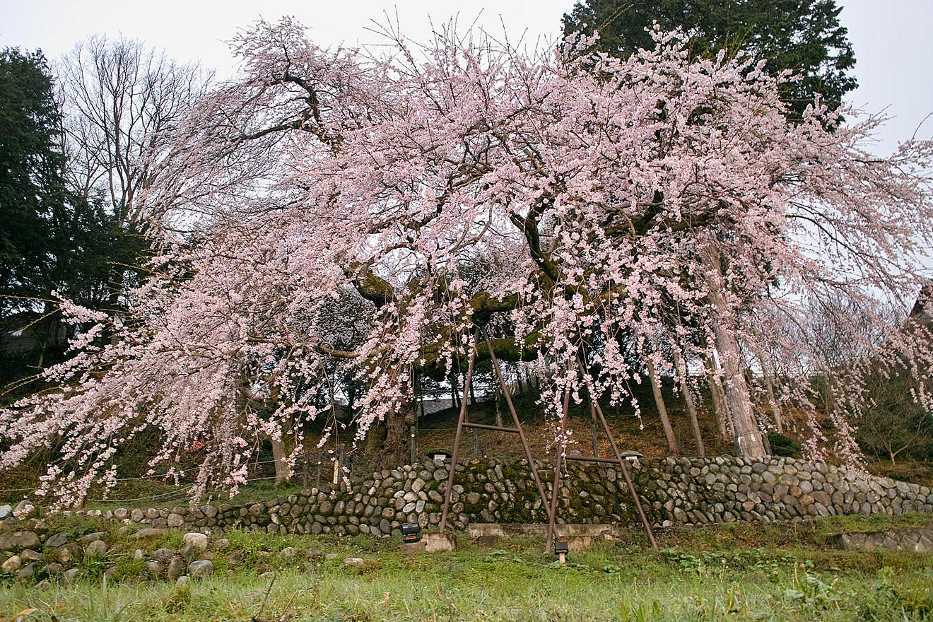 飯田市松尾毛賀「くよとの桜」