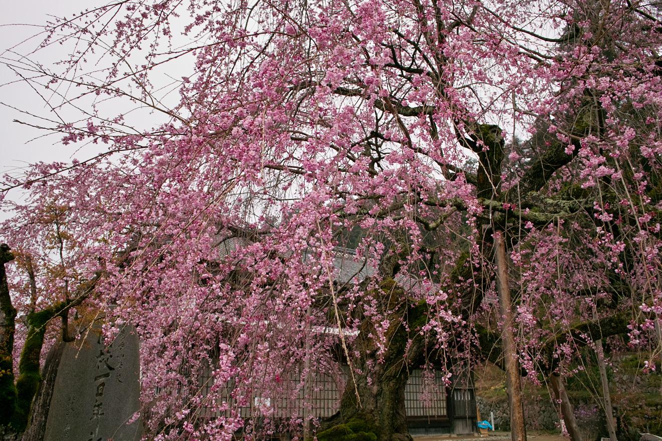 飯田市座光寺「麻績の舞台桜」