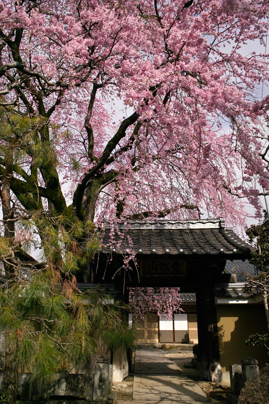 飯田市江戸町「黄梅院の紅しだれ桜」