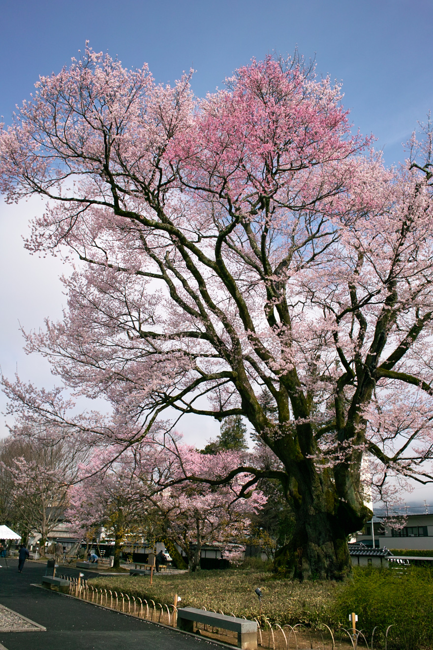 飯田市追手町「安富桜」