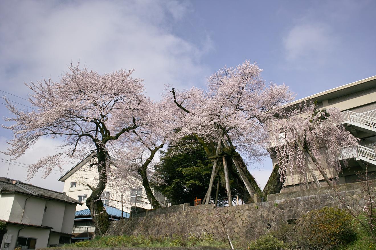飯田市追手町飯田城址「桜丸御殿の彼岸桜」、「夫婦桜」