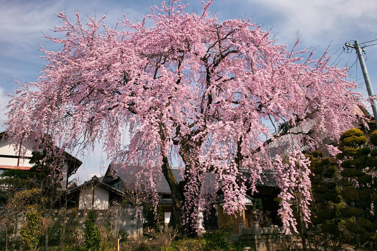 2012年4月17日飯田市江戸町「黄梅院の紅枝垂れ桜」