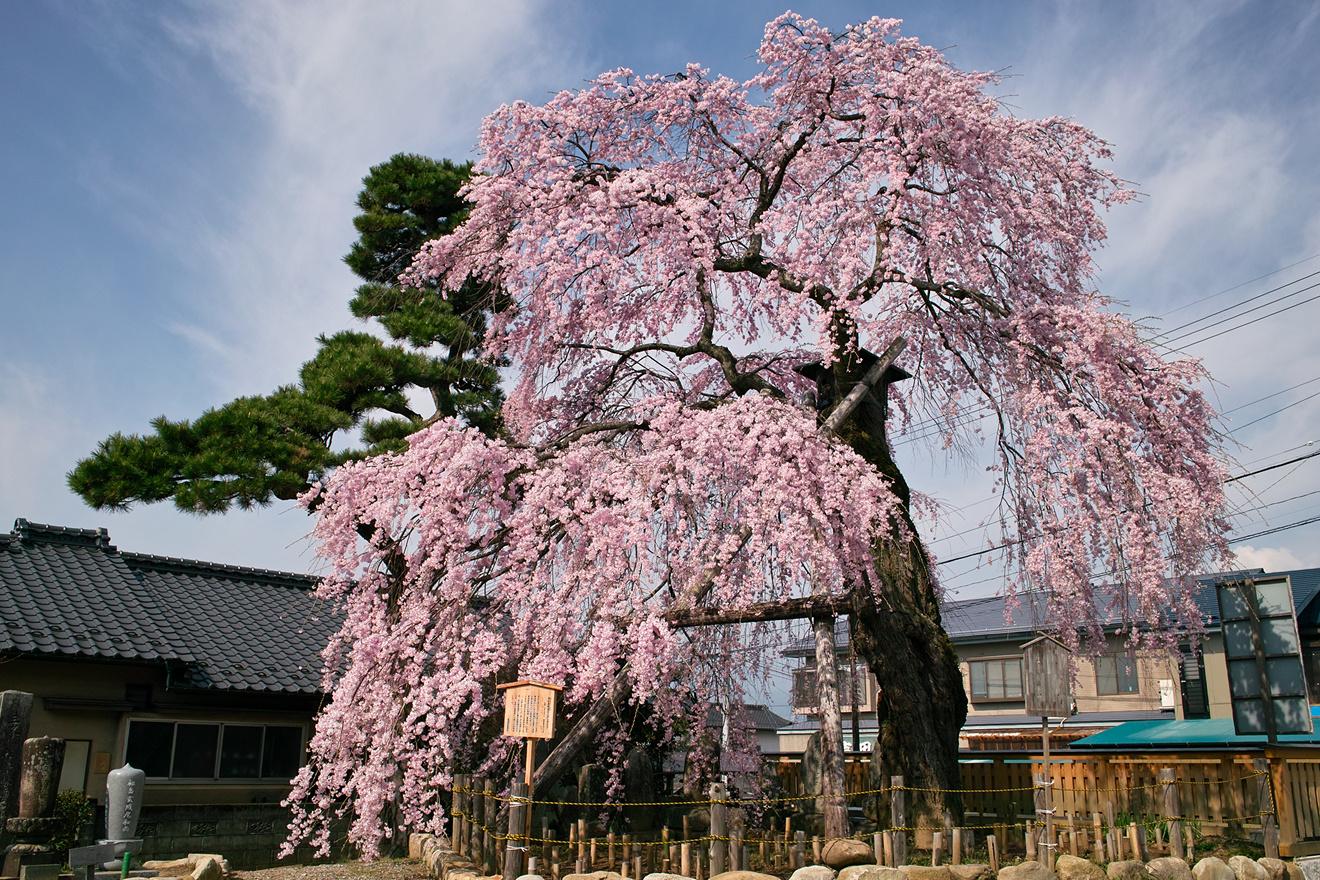 2012年4月17日飯田市上郷高松正命寺「高松薬師堂のシダレザクラ」