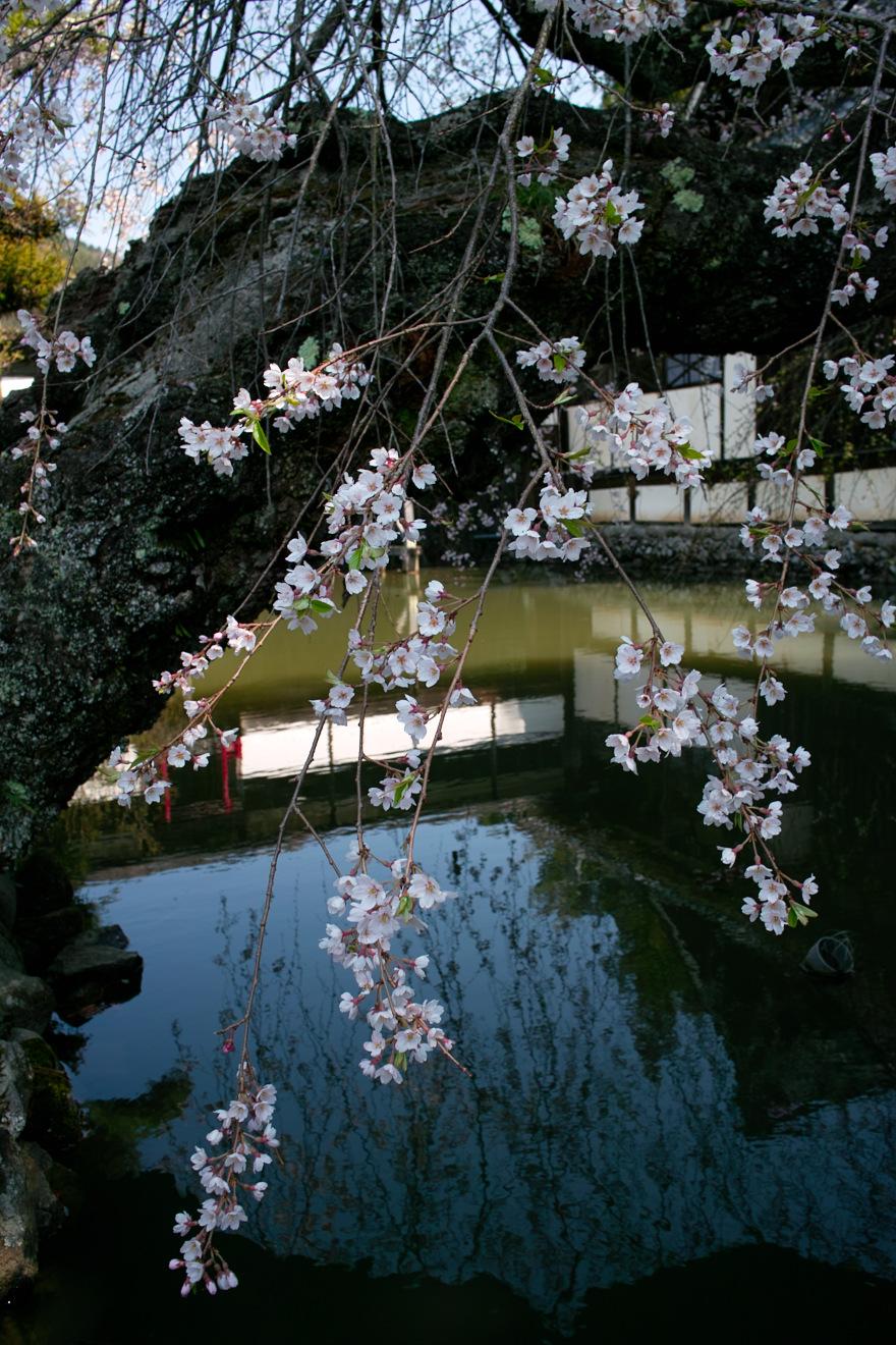 2012年4月19日飯田市立石「立石寺客殿池のエドヒガン」