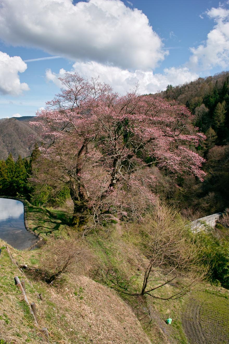 2012年4月27日阿智村「駒繋ぎの桜」