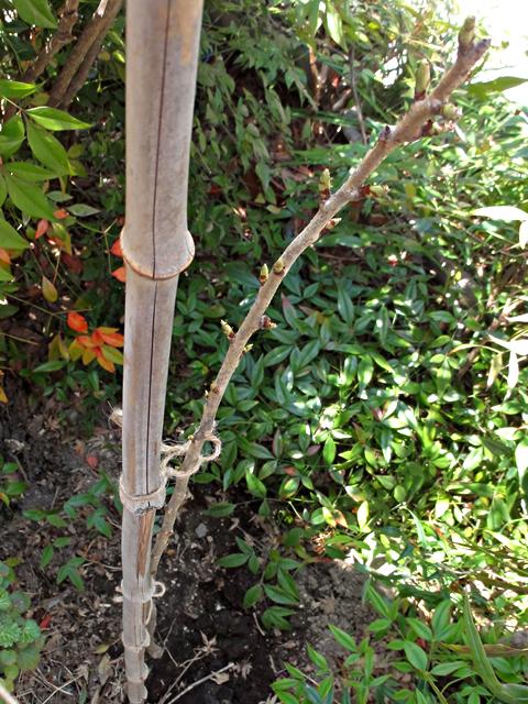 里桜「一葉」植栽