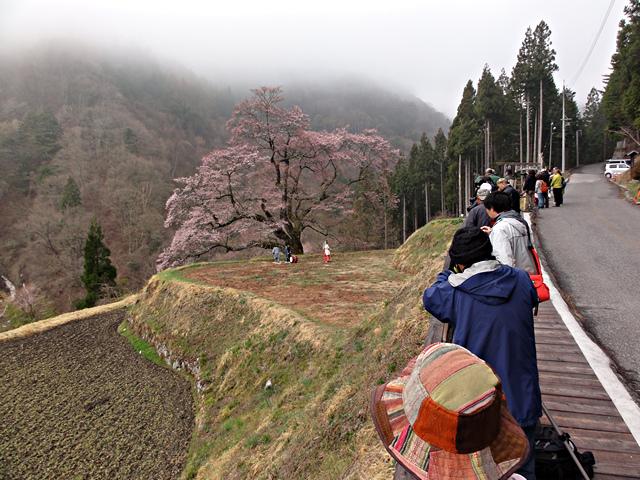 2014年4月19日:阿智村智里「駒つなぎの桜」鶏舞奉納