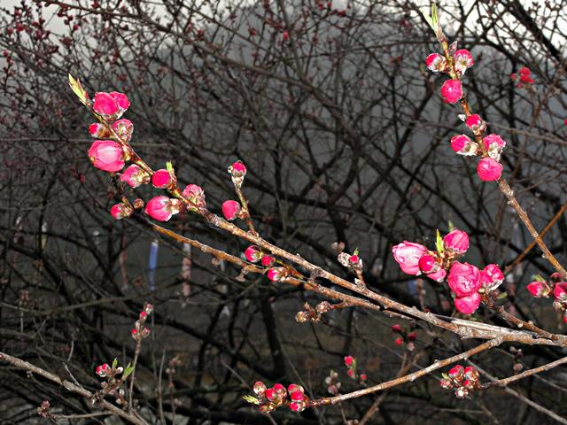 2014年4月19日:阿智村「月川温泉郷のハナモモ」