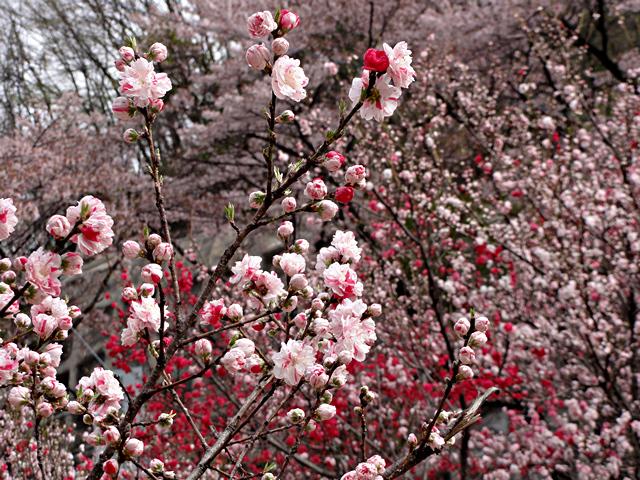 2014年4月19日:阿智村「昼神温泉郷のハナモモ」