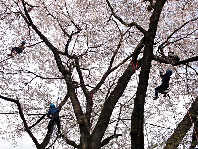 2014年4月19日:飯田市上郷「第1回野底山森林公園さくら祭り」