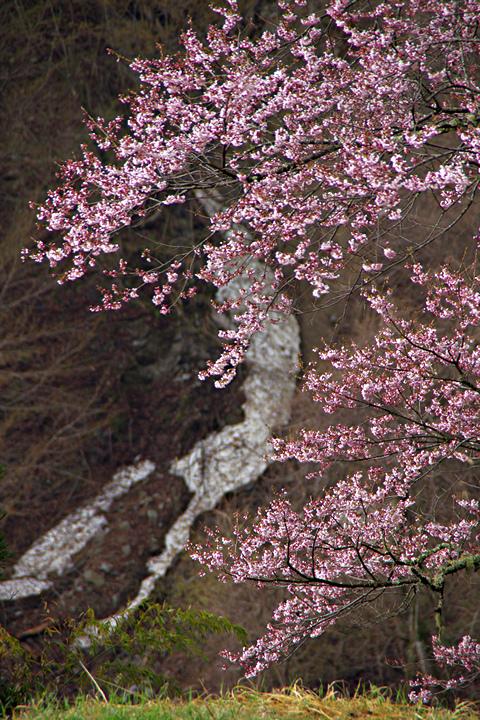 2014年4月19日:阿智村智里「駒つなぎの桜」