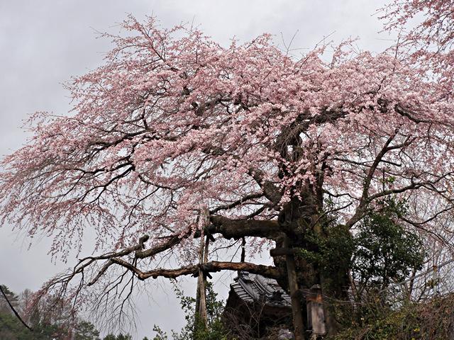 2014年4月20日:阿智村上清内路清南寺「夫婦桜」