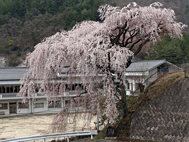 2014年4月20日:阿智村清内路「清中桜」