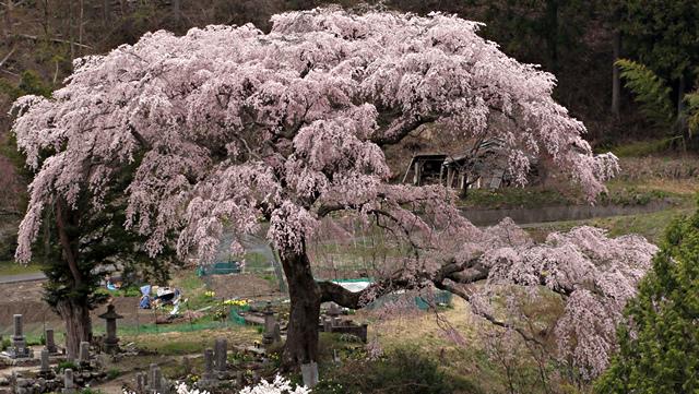 2014年4月20日:阿智村清内路「黒船桜」