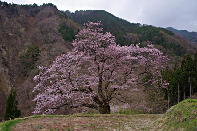 2014年4月20日:阿智村園原「駒つなぎの桜」