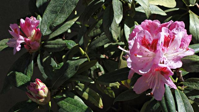 ファミリーハウス民宿若松の石楠花