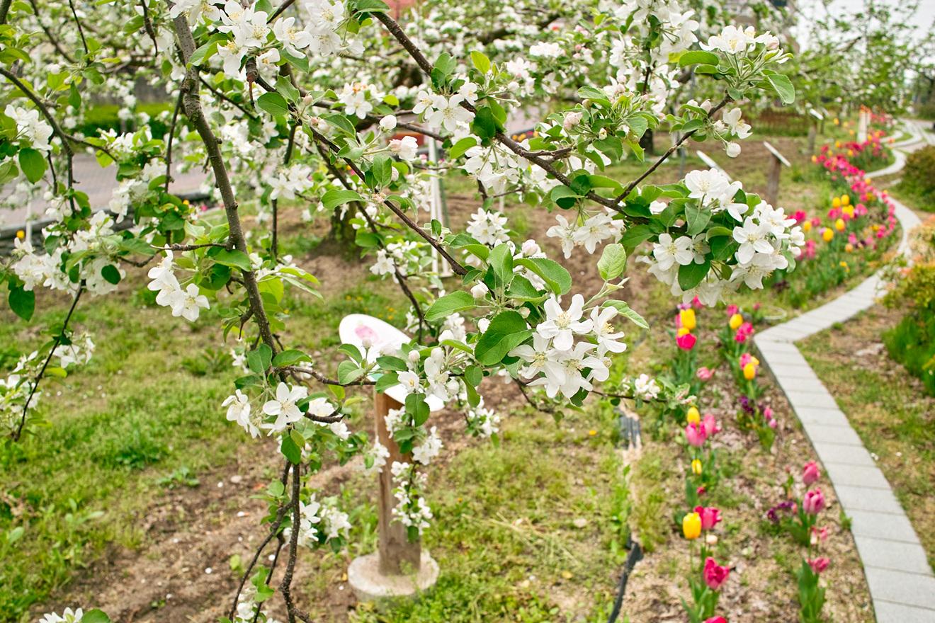 2012年4月30日長野県飯田市「りんご並木」